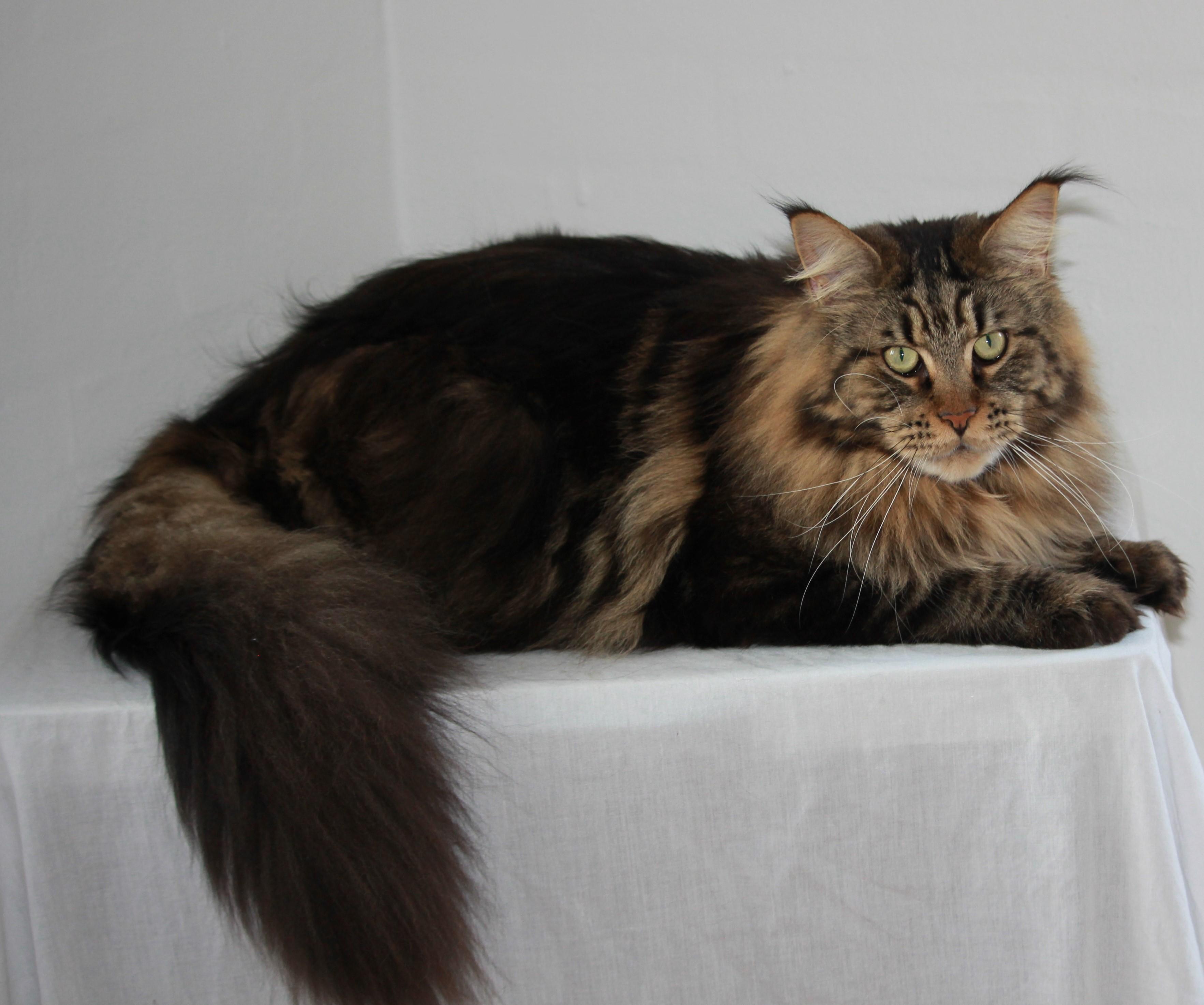 Nr 7. IP DK Jedocats Ferdinand. Point 520 Ejet af Susan og Claus Stryg